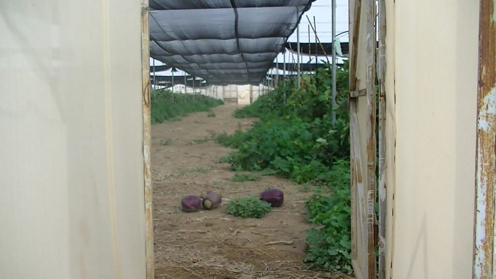 Aubergines in a greenhouse in the illegal Israeli settlement of Almog