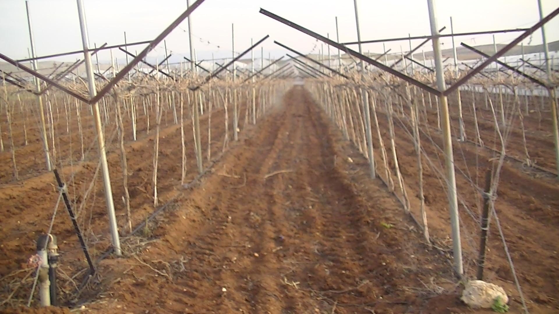 Grape fields in the illegal Israeli settlement Beqa'ot in the occupied Jordan Valley
