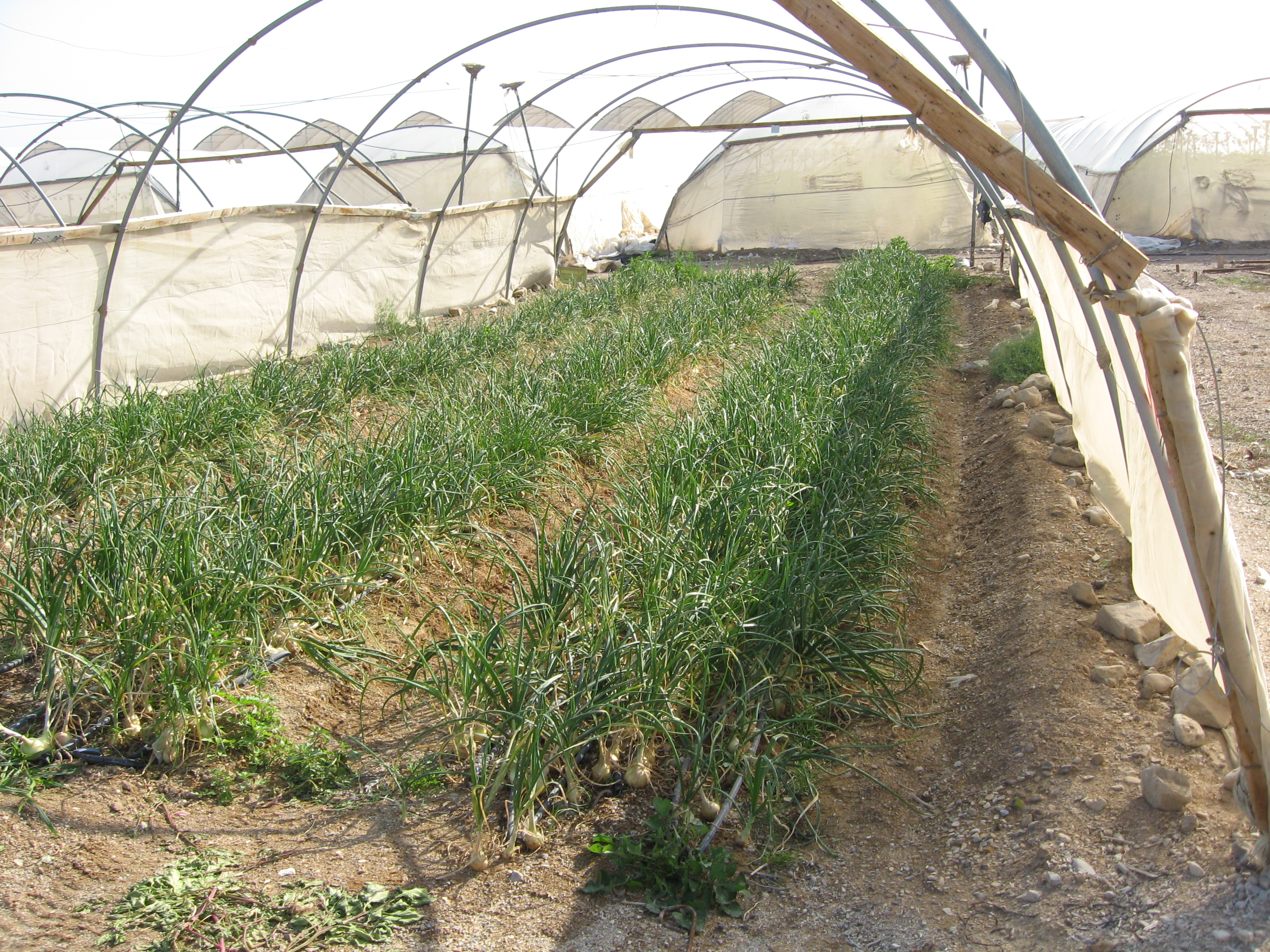 Fields cultivated for Agrexco in the illegal settlement of Kalia - Photo taken by Corporate Watch researchers 26/01/2013