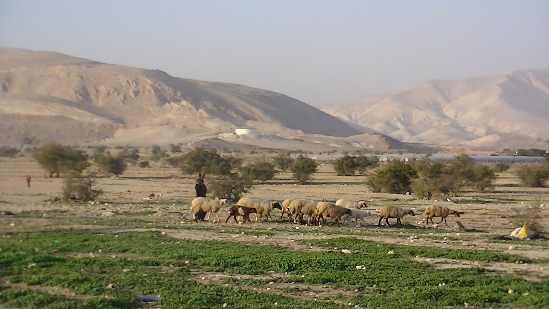 A Palestinian herding animals close to the village of Fasayil close to greenhouses in the settlement of Tomer