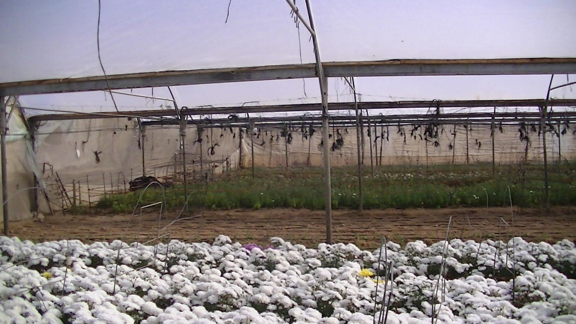 Hassan Hijazi's greenhouses in Rafah
